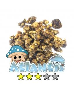 Magische Truffels | Psilocybe Atlantis 10,95 Magische Truffels