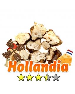 Magische Truffels | Psilocybe Hollandia