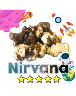 Magische Truffels | Psilocybe Nirvana