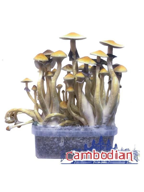 Psilocybe Cubensis Cambodian - Grow kit 0,00   Magic Mushroom Growkits