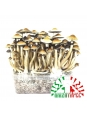 Psilocybe Cubensis Mazatapec - Grow kit 0,00   Magic Mushroom Growkits