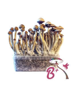 Cubensis B+ - Magic Mushroom Grow Kit