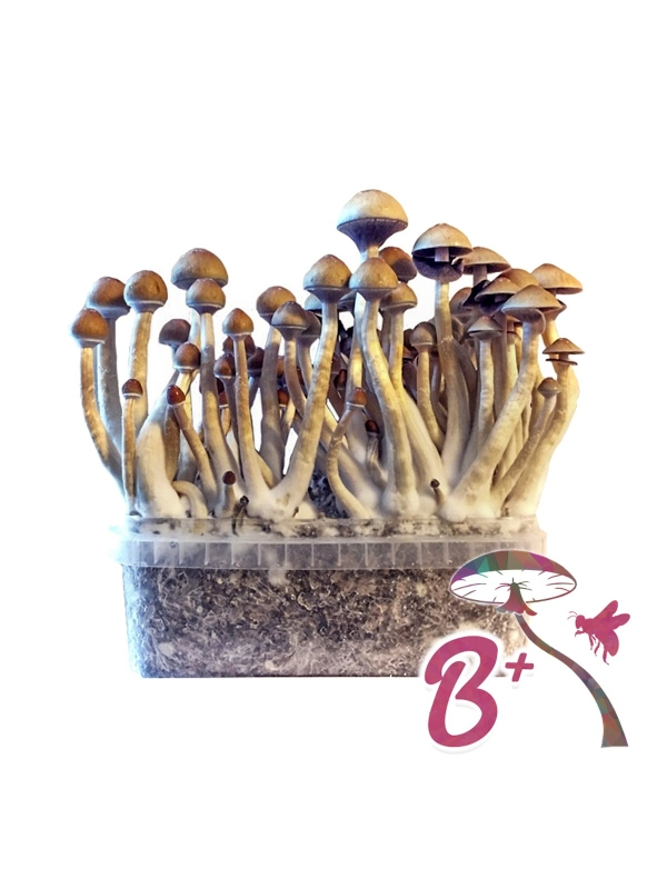 Cubensis B+ - Magic Mushroom Grow Kit 27,50 Magic Mushroom Growkits