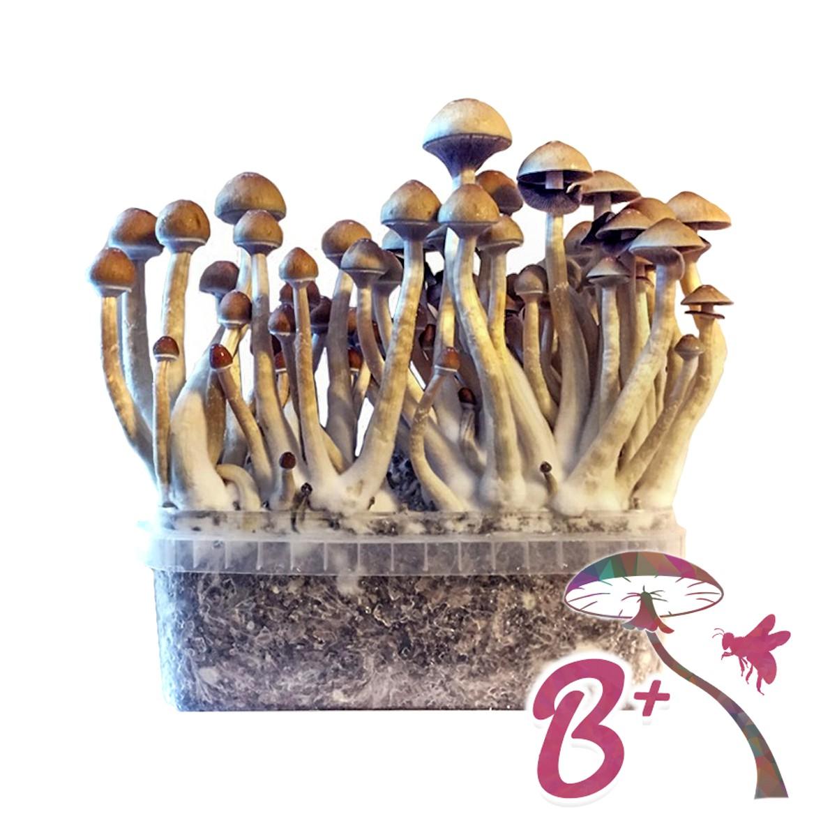Cubensis B+ - Magic Mushroom Grow Kit 27,95 € Paddo Growkits