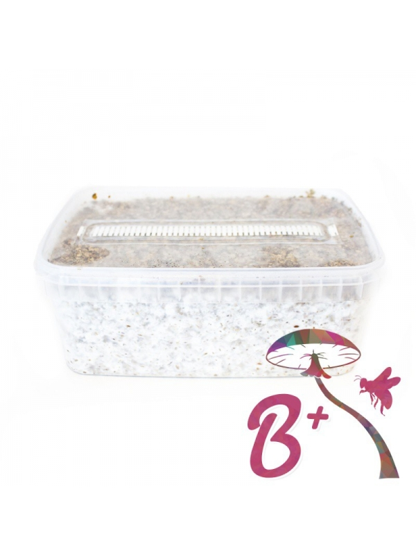 Cubensis B+ - Magic Mushroom Grow Kit 27,95  € Magic Mushroom Growkits