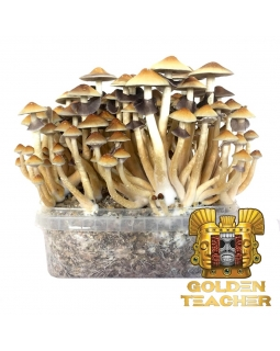 Psilocybe Cubensis Golden Teacher - Magic Mushroom Grow Kit