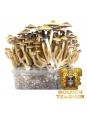 Psilocybe Cubensis Golden Teacher - Magic Mushroom Grow Kit 27,95  € Paddo Growkits