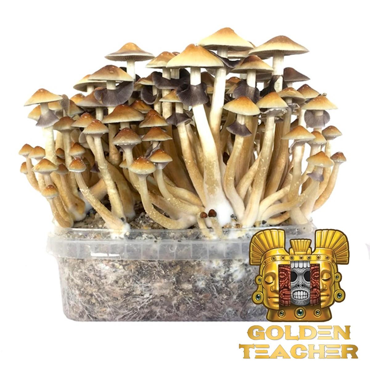 Psilocybe Cubensis Golden Teacher - Magic Mushroom Grow Kit 27,95 € Magic Mushroom Growkits