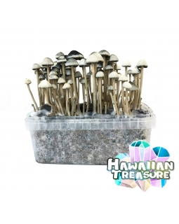 Copelandia Hawaiian Treasure Mushroom Growkit 45,00 Magic Mushroom Growkits
