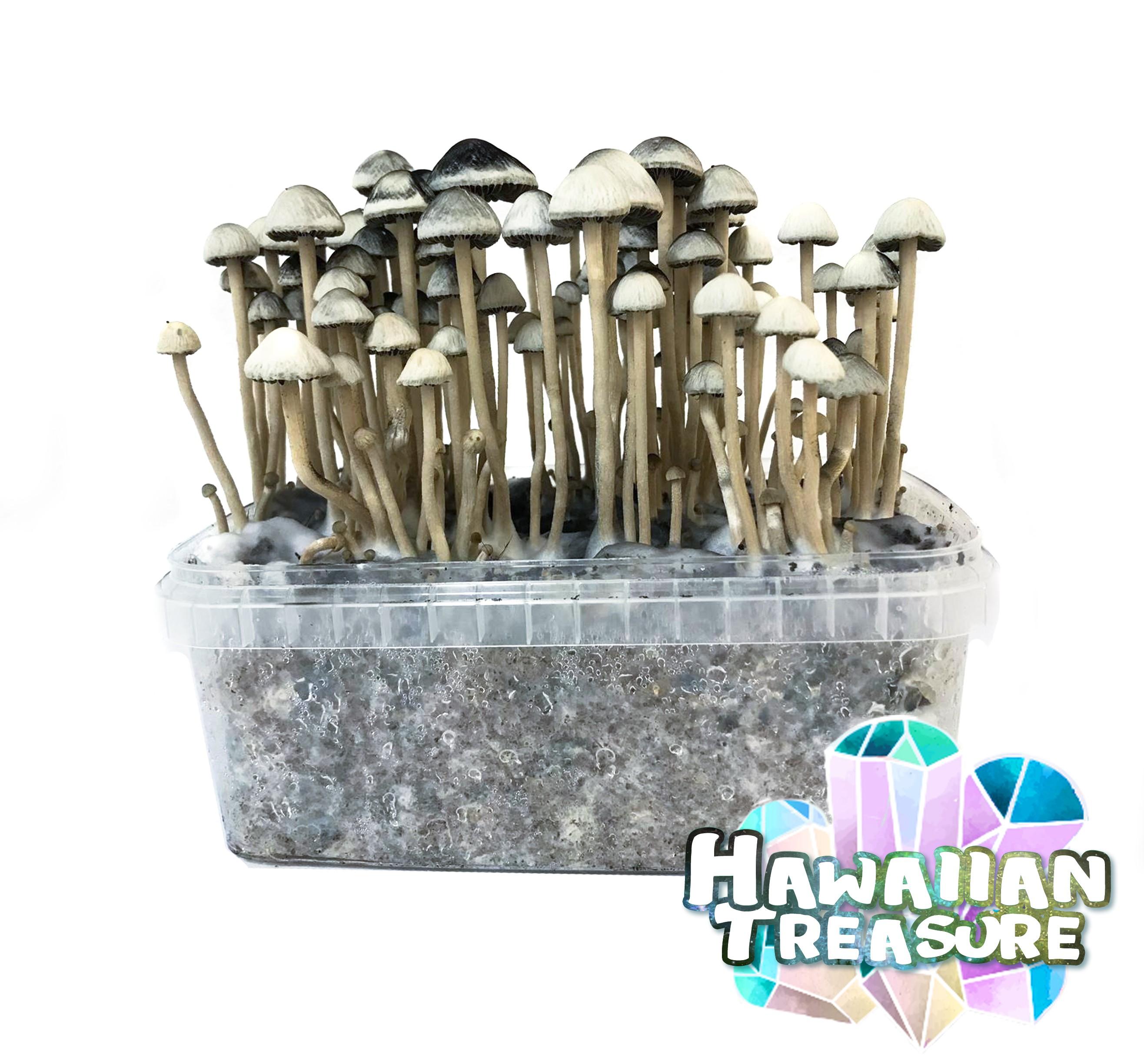 Copelandia Hawaiian Treasure Paddo Growkit 45,00 Paddo Growkits