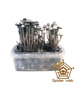 Copelandia Spiderweb Paddo Growkit