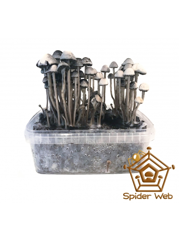 Copelandia Spiderweb Paddo Growkit 45,00 Paddo Growkits