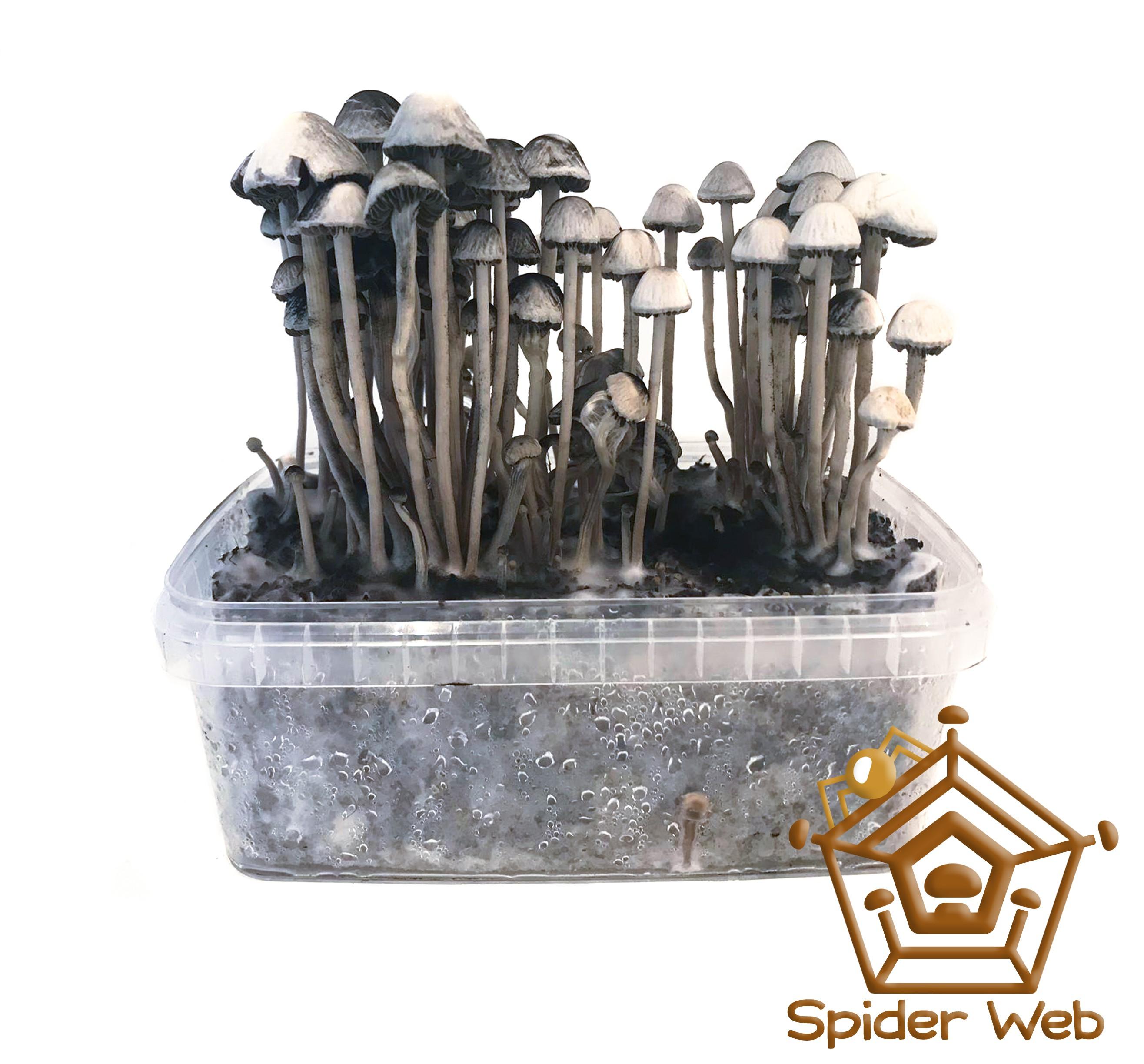 Copelandia Spiderweb Mushroom Growkit € 45.00 Magic Mushroom Growkits