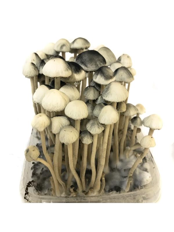 Copelandia Hawaiian Treasure Mushroom Growkit 45,00 Magic Mushroom Growkits