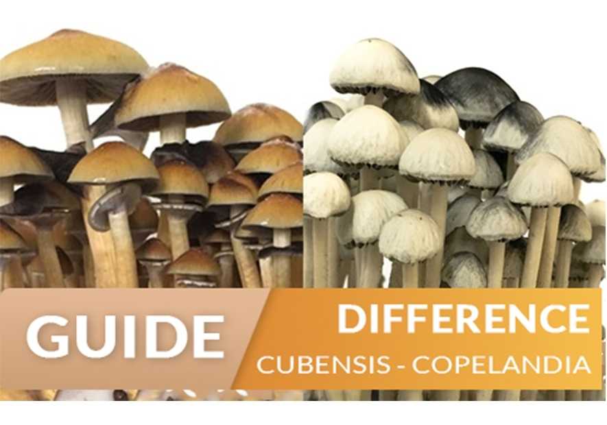 Difference between Copelandia and Cubensis Magic Mushrooms
